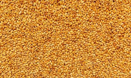 Top view of harvested barley wheat cereal grains to be used as agricultural or food production background